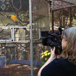 Nancy records Tico, a blue and gold macaw, at Pandemonium Aviaries.